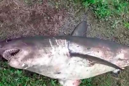 В России рыбаки поймали в реке 100-килограммовую акулу