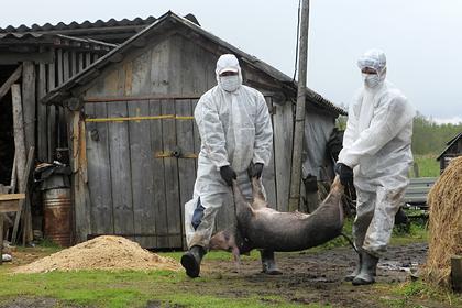 В России зафиксирован вирус африканской чумы свиней
