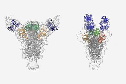 Ученые создали нейтрализующую COVID-19 смесь антител
