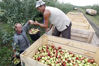 В России резко подорожали яблоки