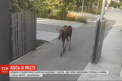 Лось забрел на конфетную фабрику Порошенко и попал на видео