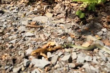 Голодные змеи устроили сражение за пойманную лягушку