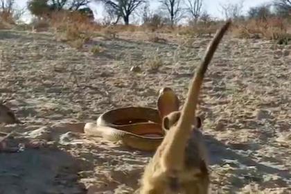 Противостояние кобры и банды сурикатов попало на видео