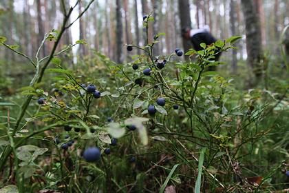 Россиян предупредили об опасных чернобыльских ягодах и грибах