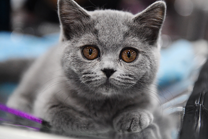 Названы популярные у россиян породы кошек
