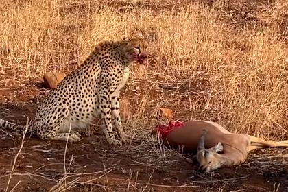 Полусъеденная антилопа попыталась сбежать от гепарда и довела туристку до слез