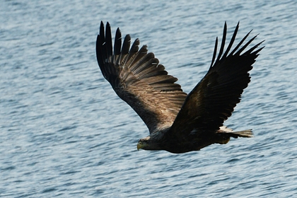 Орлан атаковал беспилотник США в воздухе и сбросил его в воду