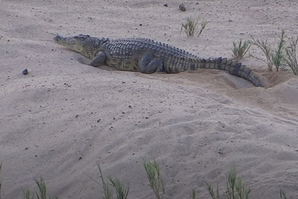 Противостояние крокодила и варанов за яйца попало на видео