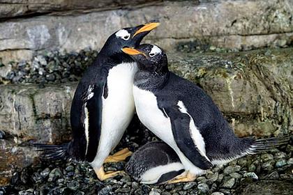 Пара пингвинов-лесбиянок «усыновила» пингвиненка
