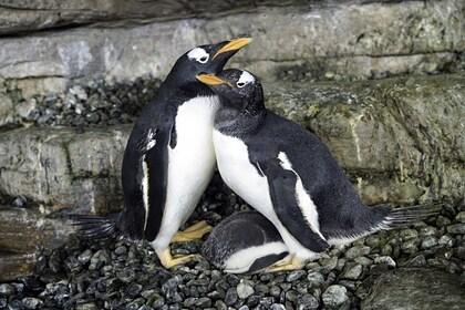 Пара пингвинов-самок из океанариума стала родителями