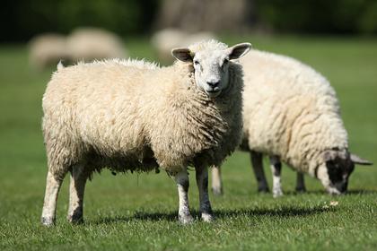 В Шотландии продали самого дорогого вмире барана