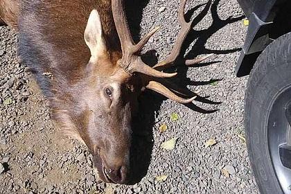 Олень насмерть забодал подстрелившего его охотника