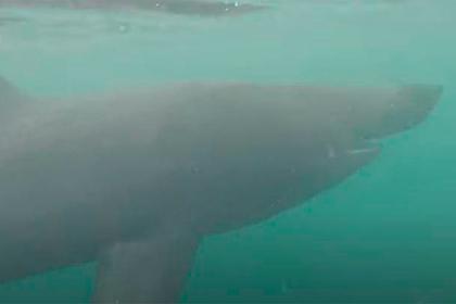 Гигантская пятиметровая акула вплотную подплыла к любителю рыб и попала на видео