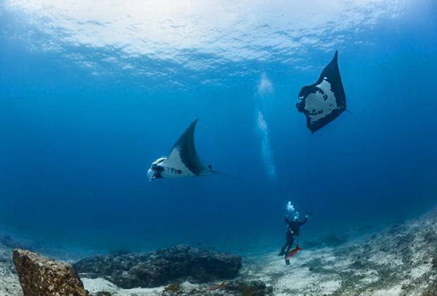 Рифовые манты
