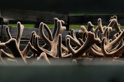 «Норникель» займется развитием оленьих пастбищ в Красноярском крае