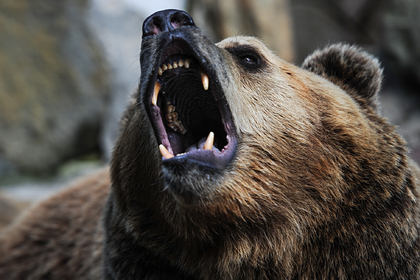 Россиян предупредили об устремившихся в города медведях