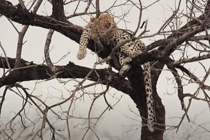 Павианы загнали трусливого леопарда на дерево и насмешили зрителей