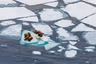 Моржи любят отдыхать на плавучем льду или берегу. Но сегодня дрейфующие льды в Арктике летом стремительно тают, и моржи вынуждены выходить на побережье, где мало мест, пригодных для отдыха. Шум от судов, разведки углеводородов, появления людей провоцирует панику, и взрослые давят молодняк. Поэтому WWF создает в Арктике заповедные акватории, которые возьмут под охрану лежбища моржей.