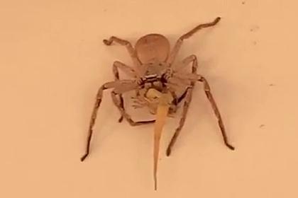 Огромный паук целиком съел геккона и напугал людей