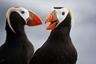 Топорок встречается в самых северных районах Тихого океана. Он селится отдельными парами или небольшими группами на птичьих базарах, устраивая гнезда в расщелинах скал, а иногда и в норах, которые роет в песчаном или галечном грунте. Днем топорки улетают на кормежку в море, ночуют в норах и на воде, а по утрам и вечерам общаются между собой — образуют «клубы» из нескольких птиц. Правда, общение это происходит без звука: топорок — молчаливая птица, но в брачный период все-таки издает низкочастотные «ворчащие» звуки.  Топорки относятся к числу видов, весьма чувствительных к загрязнению моря нефтепродуктами и ядохимикатами.