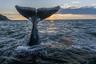 Гренландский кит — настоящий морской исполин, по массе тела уступающий лишь синему киту: он весит 75, а иногда до 100 тонн. Более всего восхищает рекордная продолжительность жизни гренландского кита: несколько раз китобои добывали особей с гарпунами, застрявшими в теле: это помогло ученым установить приблизительный возраст гигантов — не менее 200 лет!