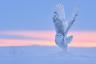 Белая сова — самая большая птица в тундре. Ученые называют ее белой за цвет оперения, полярной — за то, что гнездится в высокой Арктике, а якуты зовут эту птицу ласково — «снежная бабушка». Белое оперение прекрасно маскирует сову на снегу. В сутки полярная сова съедает до четырех грызунов, предпочитая охотиться рано утром или вечером. Пищу белых сов составляют главным образом мышевидные грызуны — норвежский, обский и копытный лемминги, полевки и суслики. Все важные события в жизни белой совы, такие как размножение и кочевки, определяются численностью главных объектов ее охоты — леммингов.