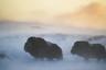 Овцебык прекрасно приспособлен к суровым арктическим условиям. Этот титан является рекордсменом по длине шерсти: если на спине она относительно небольшая, сантиметров пятнадцать, то на боках и животе достигает длины 60-90 сантиметров. Правда, звери на этом фото выглядят так, будто до самых копыт накрылись просторными теплыми пончо?  Особые теплоизоляционные свойства меха овцебыка достигаются за счет густого теплого подшерстка — пуха, который называется «гевиот». Эта роскошная шуба из восьми типов волос является одним из самых совершенных теплоизоляционных покрытий в животном мире.