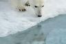 Арктика, ледяной дом белого медведя, стремительно тает. Лед для крупнейшего наземного хищника жизненно важен: за долгие тысячелетия эволюции он приспособился к охоте на тюленей с плавучих льдин. Именно тюлени, а не рыба — основной источник питания для белого медведя. В то же время льды Арктики сегодня тают с катастрофической скоростью, их кромка летом отступает все дальше на север, а с нею уходят тюлени. В результате медведи вынуждены долгое время голодать или искать другой, менее подходящий корм. Тяжело приходится медведицам: покинув берлоги и не найдя льда у побережья, самки с медвежатами вынуждены преодолевать вплавь значительные расстояния до дрейфующих льдов, на которых можно охотиться на тюленей. Это существенно повышает смертность медвежат в результате переохлаждения.