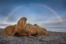 Лаптевский морж — самый редкий и малоизученный подвид моржа. Его традиционные лежбища находятся у восточных берегов Таймыра — на мысе Цветкова и в бухте Марии Прончищевой. Обширные мелководья в этой части Северного Ледовитого океана богаты моллюсками, которыми и питаются моржи, разрывая илистое дно своими бивнями. Бивнями же животные пользуются для защиты от врагов, а также чтобы выбраться из воды на лед или сушу. Самцы с крупнейшими бивнями обычно доминируют в социальной группе. Единственный враг для моржей на суше — это белый медведь, да и тот способен справиться только с очень молодыми или больными и ослабленными животными.