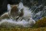 Песец, или полярная лиса, — один из символов Арктики наряду с белым медведем, моржом и северным оленем. Любопытно, что песцы, населяющие материк, зимой красуются в белых шубах. Свой снежный наряд они носят всю долгую арктическую зиму, а летом их шерсть приобретает грязно-бурый цвет. Голубой мех является прерогативой песцов, живущих на островах. Он имеет различные оттенки — светло-кофейный, серебристо-коричневый, темно-серый, играющий голубоватым отливом, или песочный. Самым крепким и красивым мех бывает во второй половине зимы.