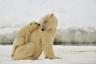 В Российской Арктике у белых медведиц есть несколько основных «родильных домов» — мест, где они устраивают берлоги и выводят потомство: это острова Врангеля и Геральд на Чукотке и архипелаги Земля Франца-Иосифа и Новая Земля. На острове Геральд ученые отмечают максимальное количество берлог —до двенадцати на один квадратный километр. Беременность у белых медведей длится примерно восемь месяцев, а в самый разгар полярной зимы, в декабре-январе, в каждой берлоге рождается по одному, два или три медвежонка. Умки остаются с мамой в теплом снежном укрытии до весны. За время жизни в берлоге медведицы совсем не двигаются и теряют до половины своего веса.