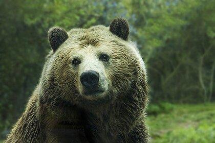 Медведи вернулись в Чернобыльскую зону впервые за сто лет