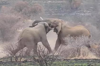 Слоны устроили смертельный поединок на глазах у туристов
