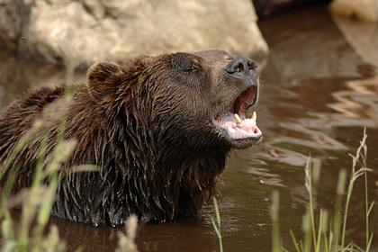 Агрессивные медведи гризли подрались за рыбу на глазах у мужчины