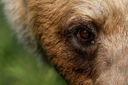 Медведь ворвался в зоопарк и загрыз пожилого самца альпаки
