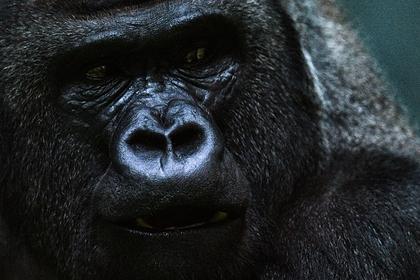 Горилла напала на сотрудницу зоопарка в Испании