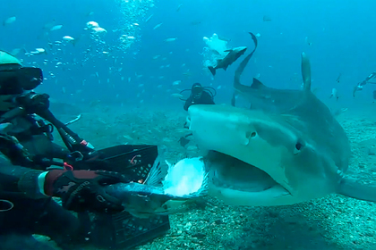 Дайвер покормил с рук смертельно опасных акул и попал на видео