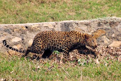 Леопард растерзал отставшего от друзей мальчика