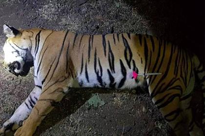 Неуловимый тигр убил восемь человек и месяцами скрывался в лесу