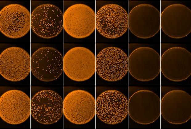 Микробные культуры золотистого стафилококка
