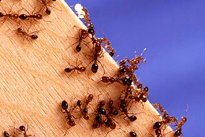 Сотни огненных муравьев искусали сестру невесты и испортили ей свадьбу