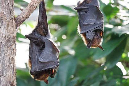 Названа причина устойчивости летучих мышей к опасным вирусам