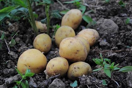 Россиянка собирала картошку и замерзла насмерть