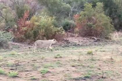 Буйвол сразился со львами в метре от шокированных туристов и попал на видео