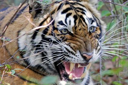 Убившего восемь человек неуловимого тигра изловили и посадили в клетку