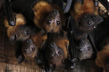 У летучих мышей в России обнаружили коронавирусы
