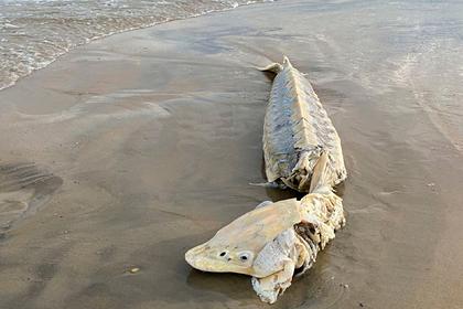 Доисторическую рыбу длиной полтора метра прибило к берегу