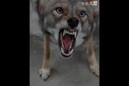 Казах убил волка голыми руками