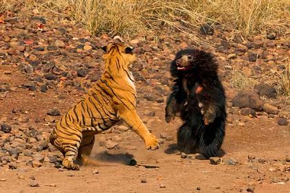 Битва самого смертоносного медведя в мире с бенгальским тигром попала на видео