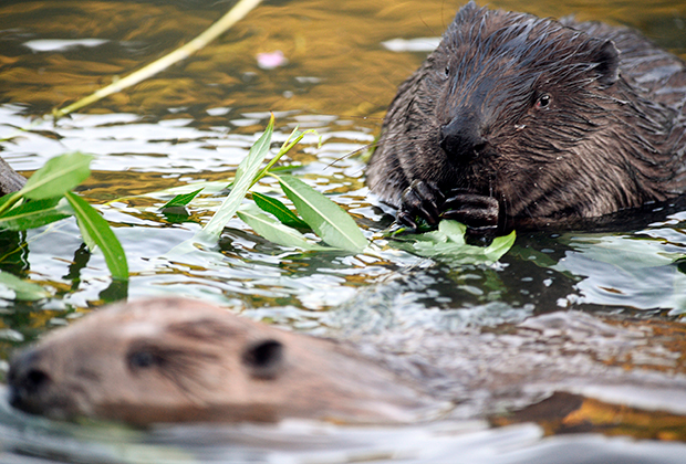 Бобры в реке Химке в парке «Покровское-Стрешнево»